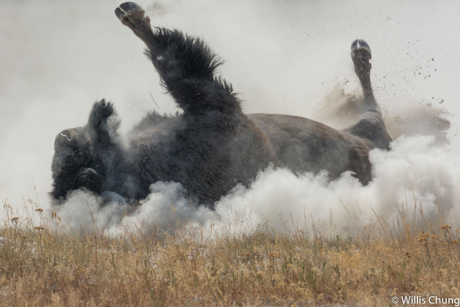 Chung Yellowstone Bull 7 image