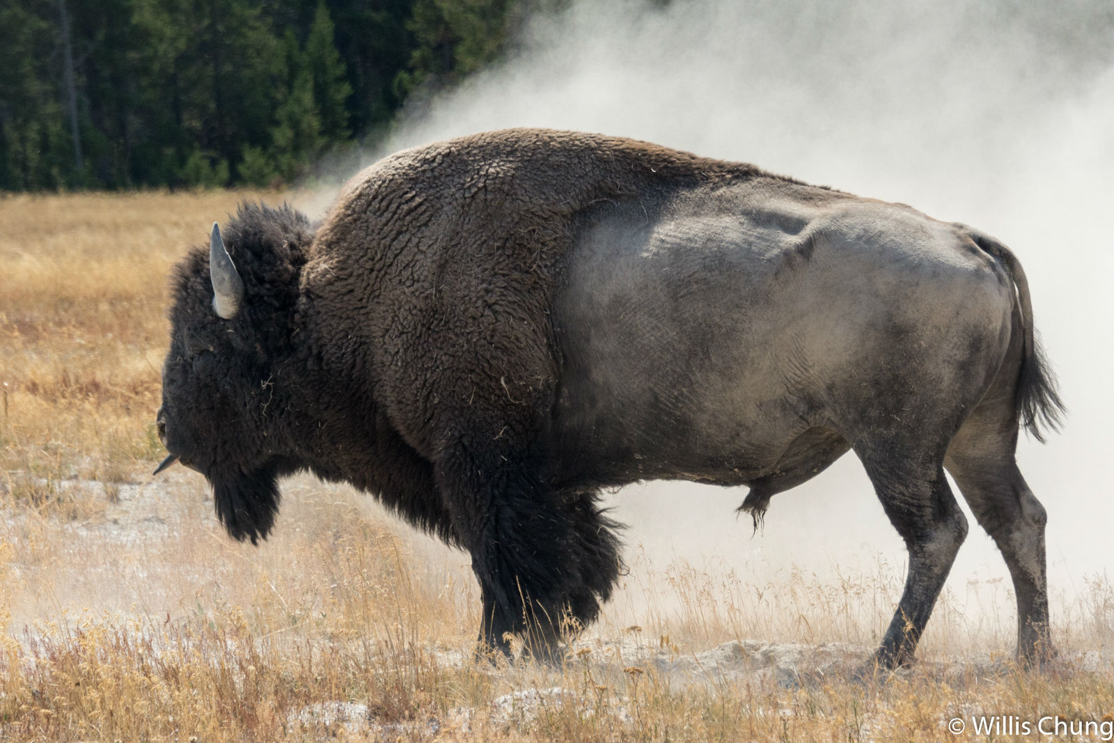 Chung Yellowstone Bull 9 image