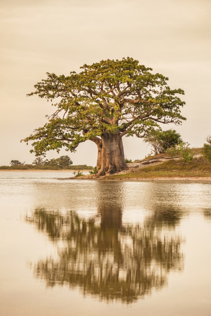 baobab tree reflection picture id908752426 image