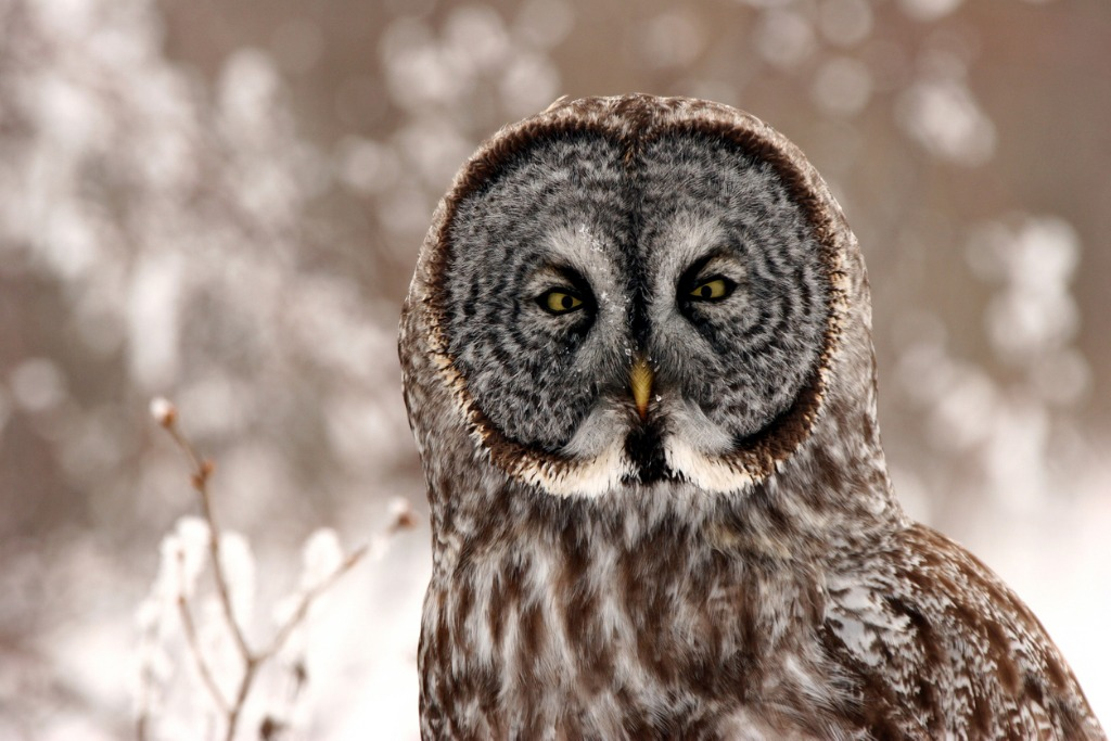 great gray owl close up picture id485469221 image