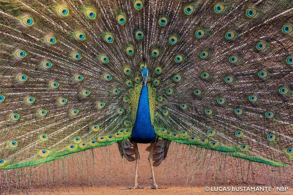 BirdsHH LucasBustamante IndianPeafowl image