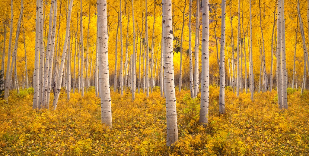 autumn aspen tree forest in the rocky mountains co picture id588603424 image