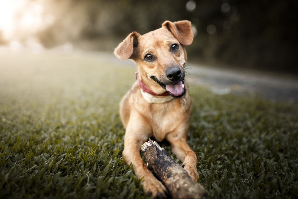 mutt dog playing with a stick picture id876312728 image