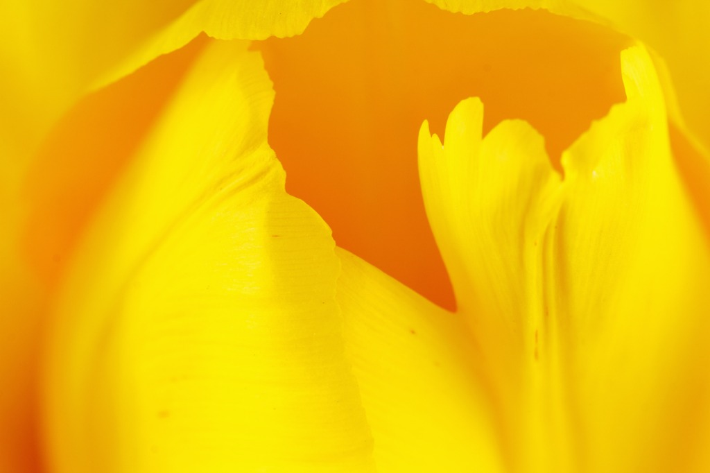 beautiful tulip close up picture id514630952 image