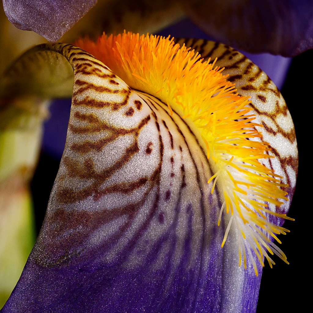 blooming iris on black picture id477980362 image