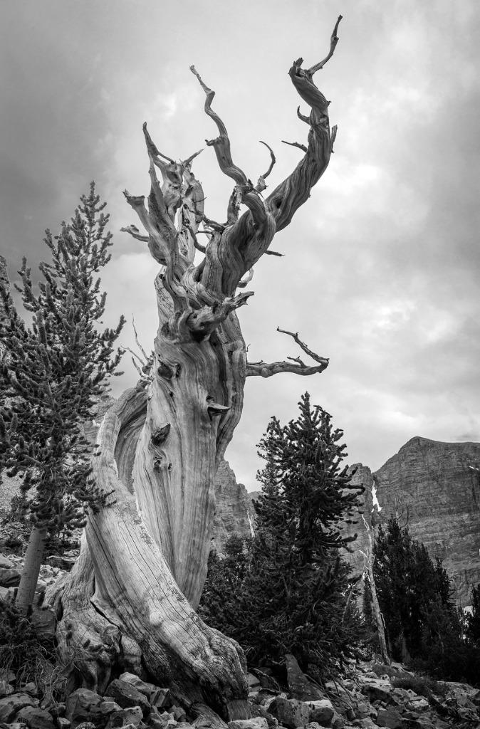 bristlecone pine black white picture id969408036 image