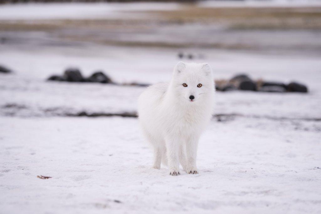 arctic fox image