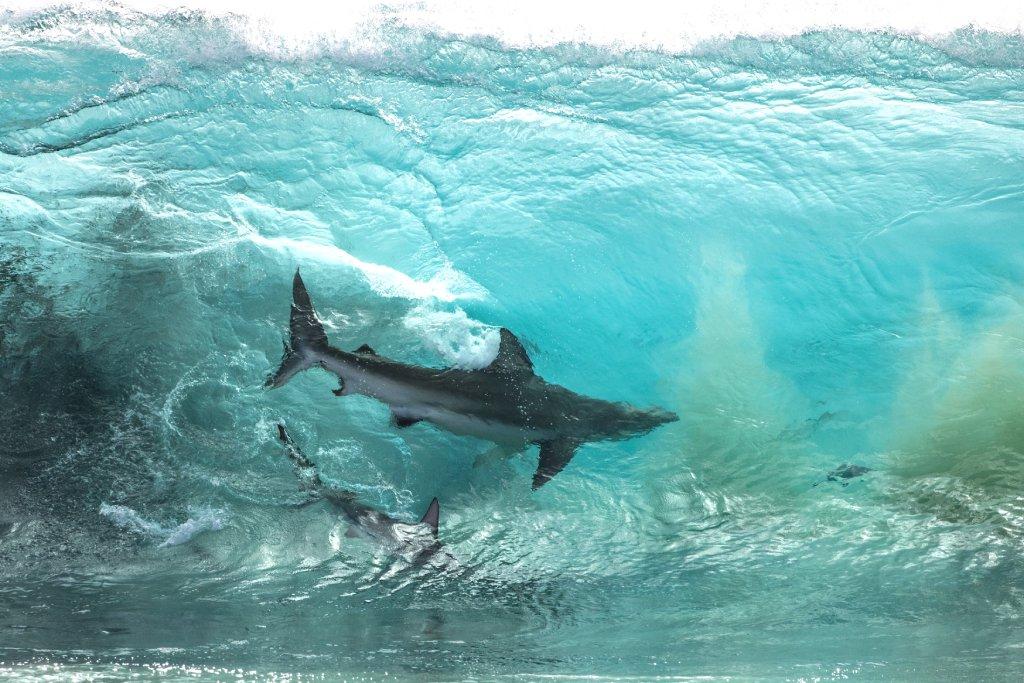 whaler shark image