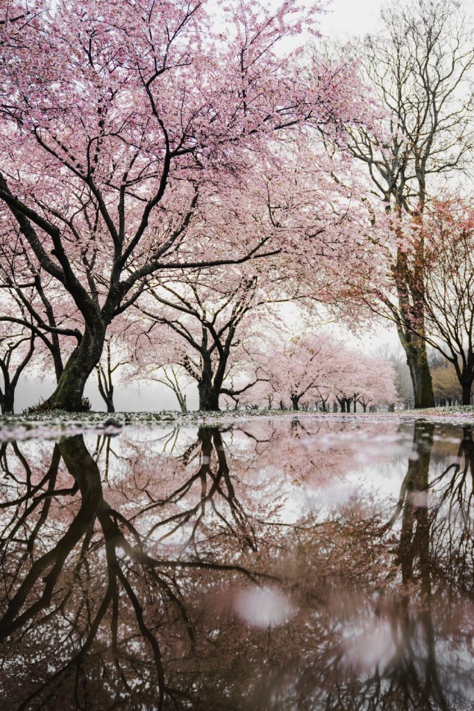 cherry blossom bloom image