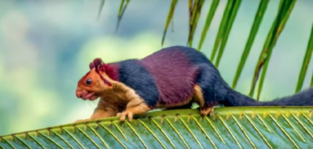 Giant Rainbow Colored Squirrels Catch The World S Eye