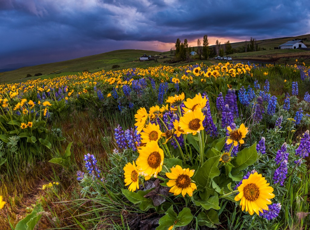 wildflower in storm cloud columbia hills state park washington picture id466246122 image