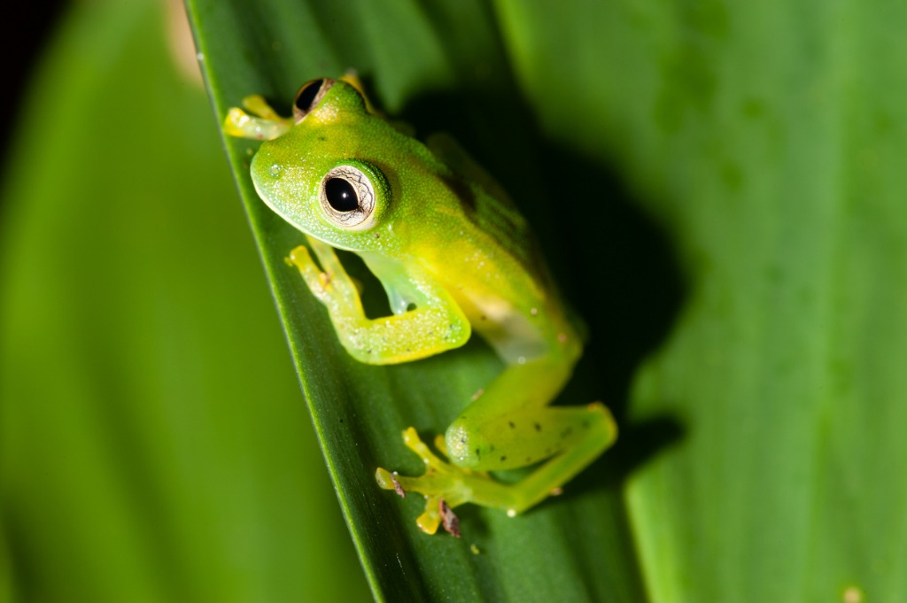 Glass Frogs of Costa Rica 2 image