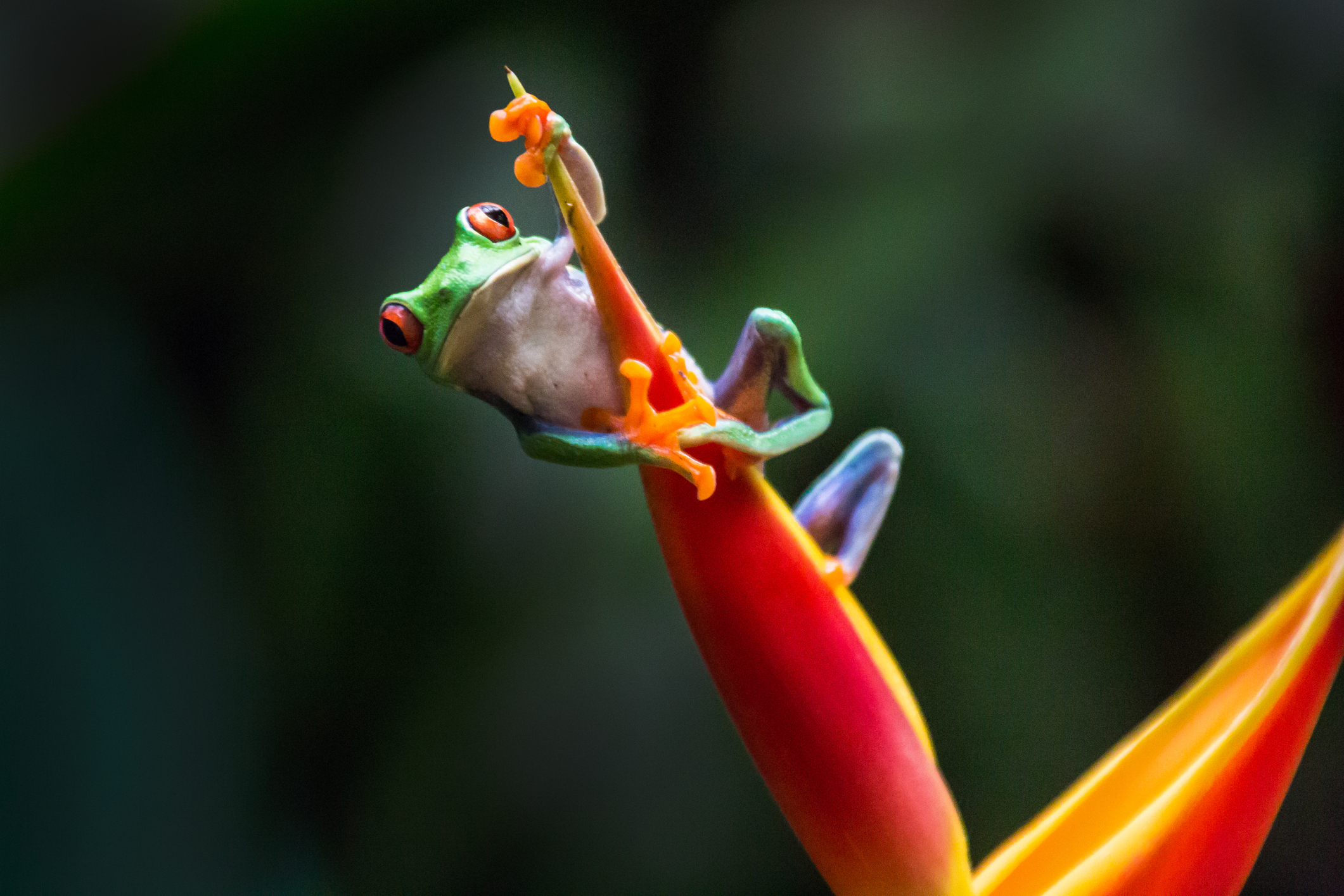 Photographing Colorful Costa Rican Frogs image