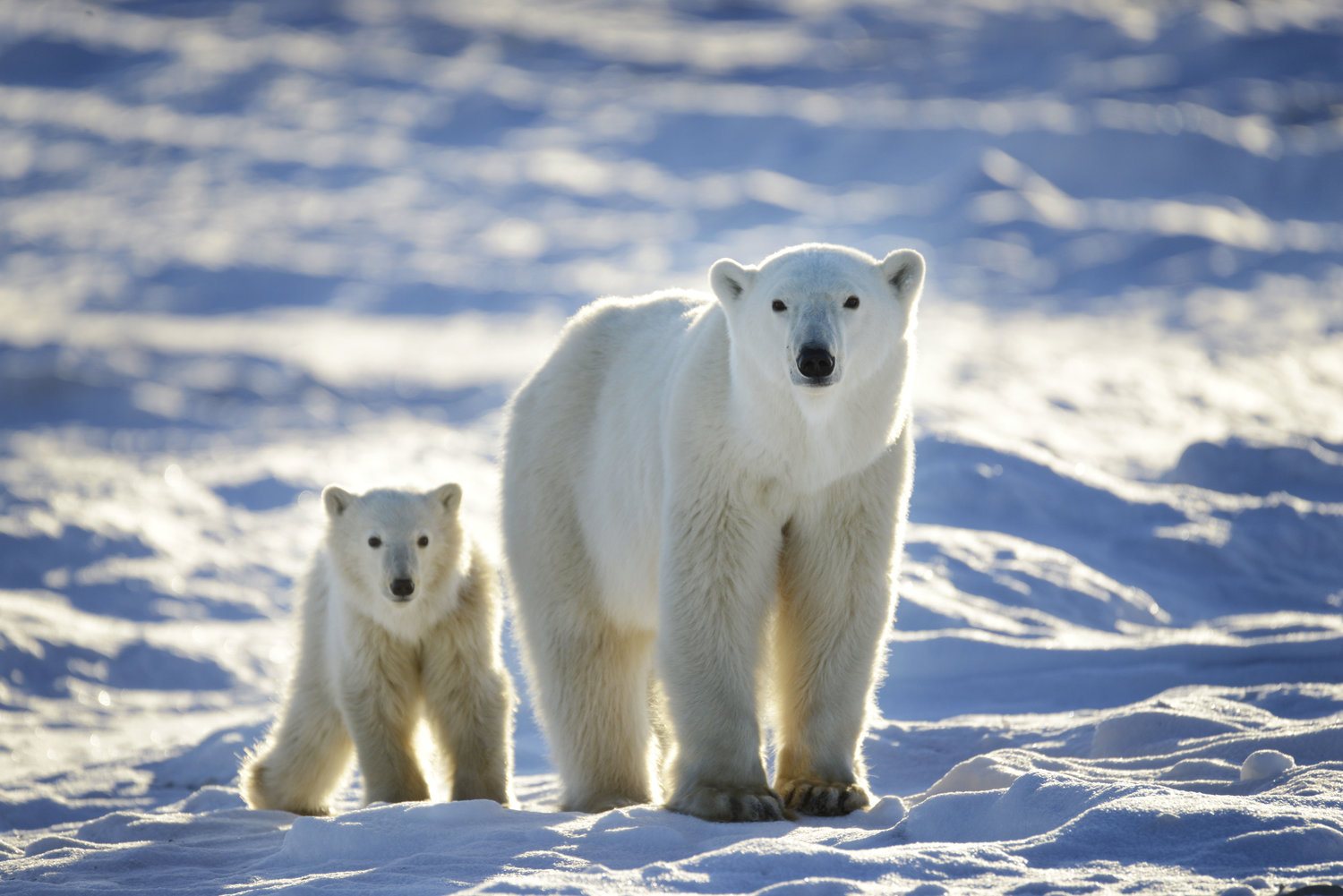 art of seeing polar bears image