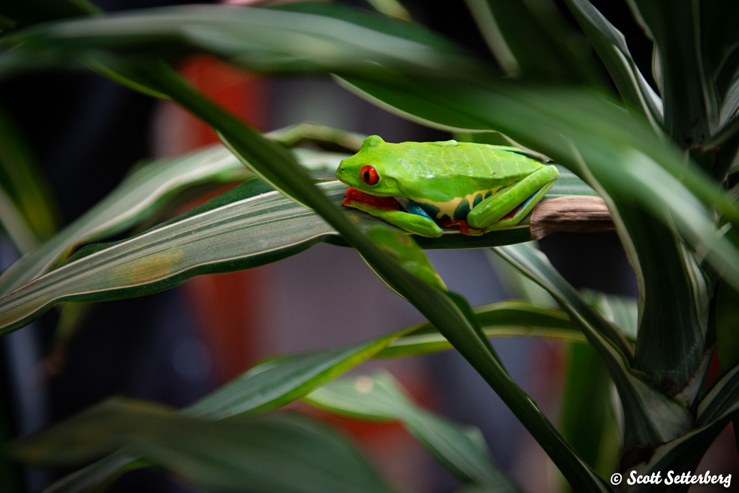 leaf frogs of costa rica 1 image