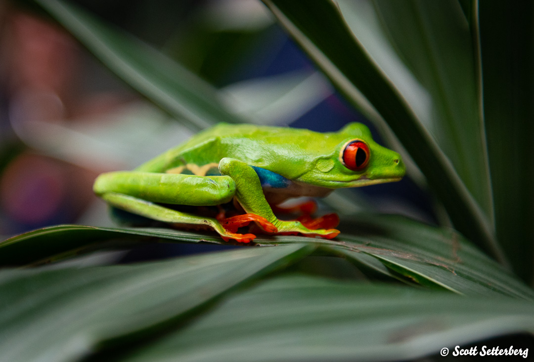 leaf frogs of costa rica 2 image