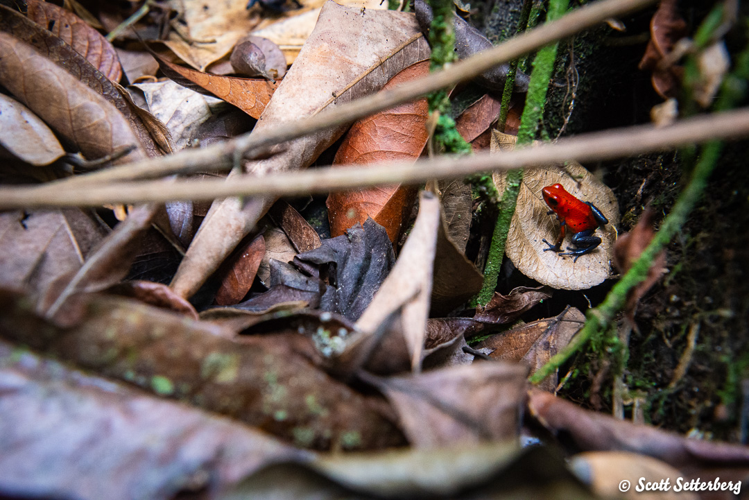 poison dart frogs of costa rica 1 image