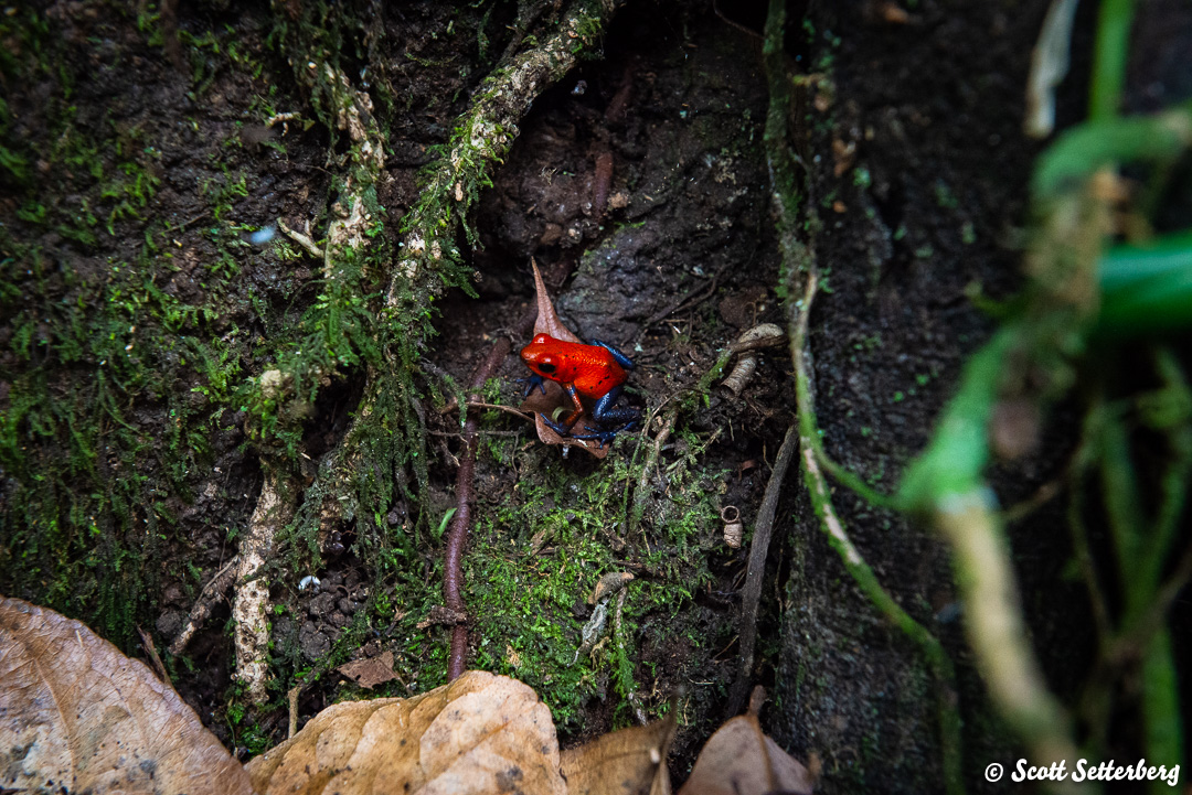 poison dart frogs of costa rica 2 image