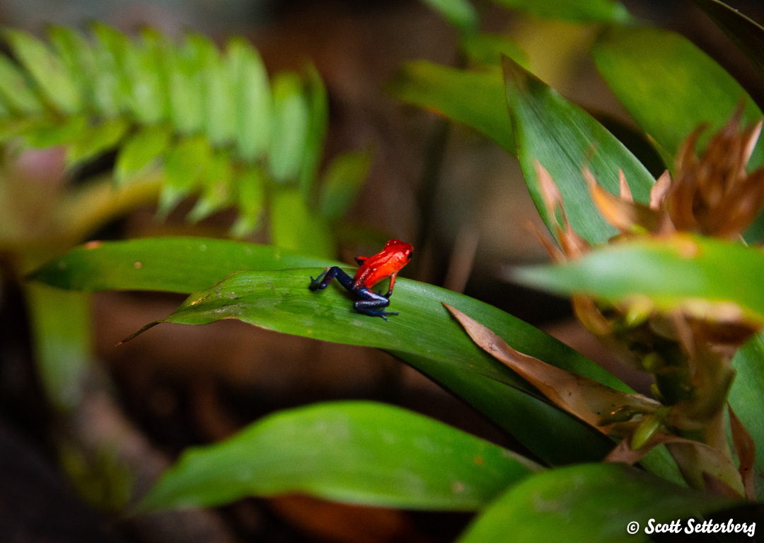poison dart frogs of costa rica 3 image
