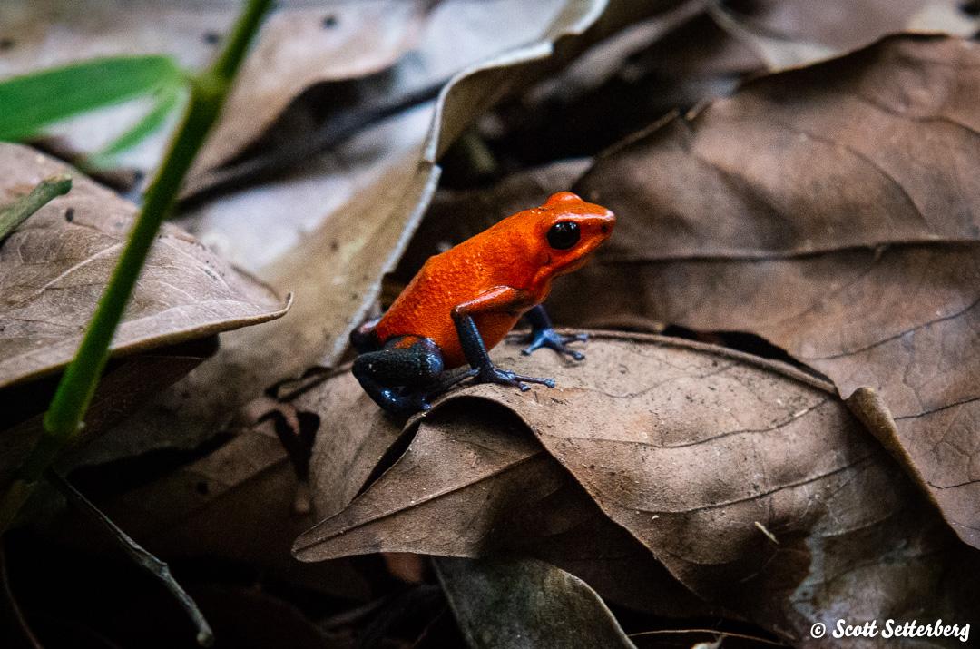 poiston dart frogs of costa rica 4 image