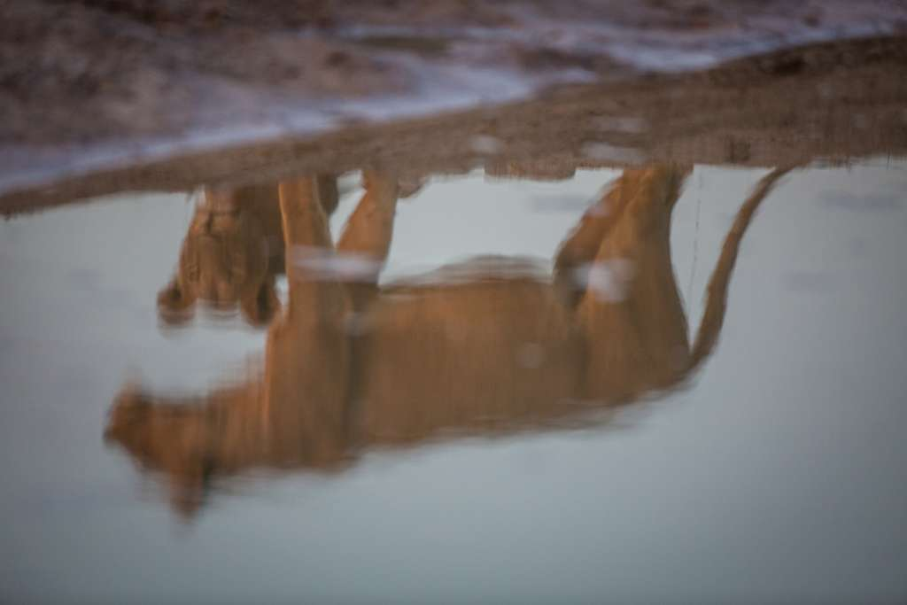 photographing africas wild cats 1 image