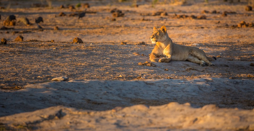 photographing africas wild cats 2 image