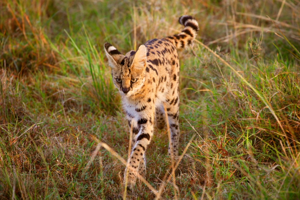 wild cats of africa Serval 2 image