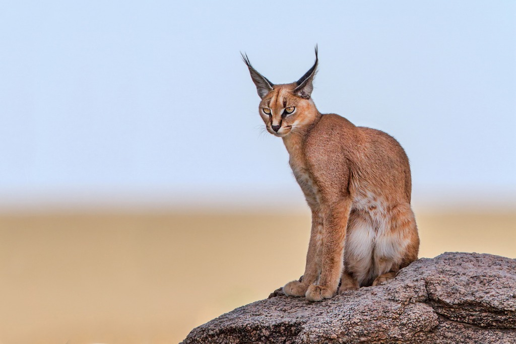 wild cats of africa caracal 1 image