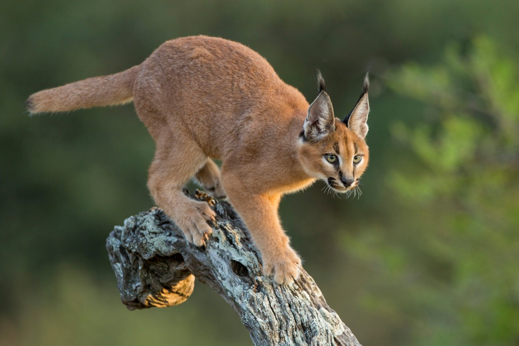 wild cats of africa caracal 2 image
