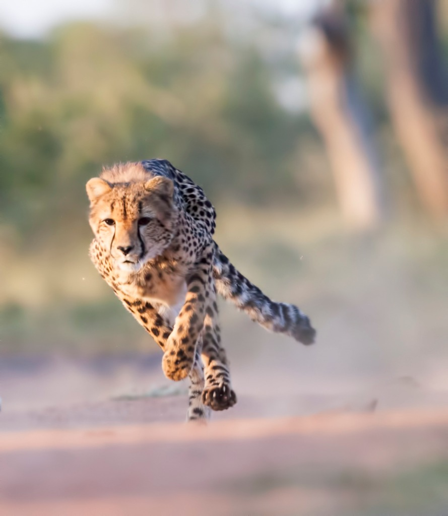 wild cats of africa cheetah 1 image