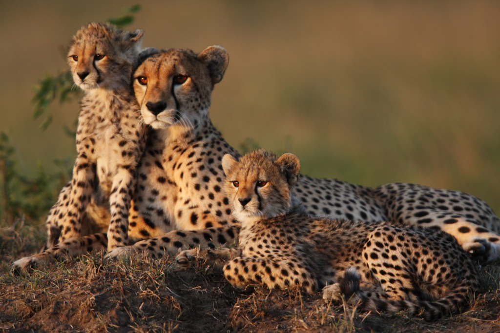 wild cats of africa cheetah 2 image