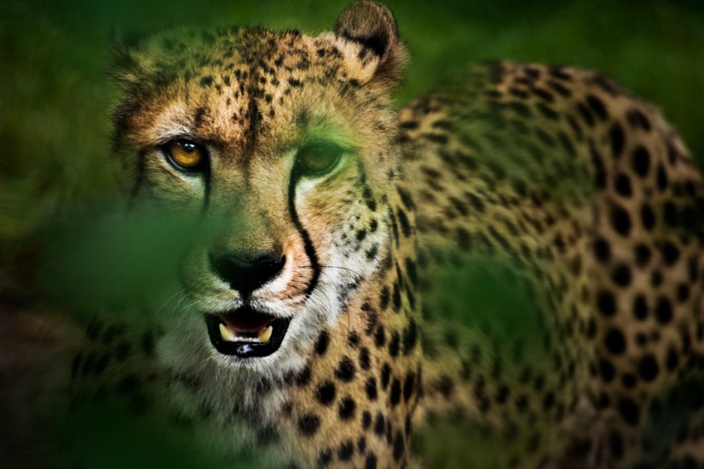 wild cats of africa cheetah 3 image