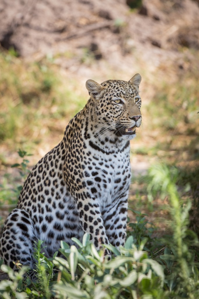 wild cats of africa leopard 1 image