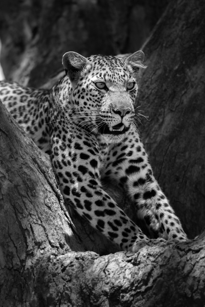 wild cats of africa leopard 2 image