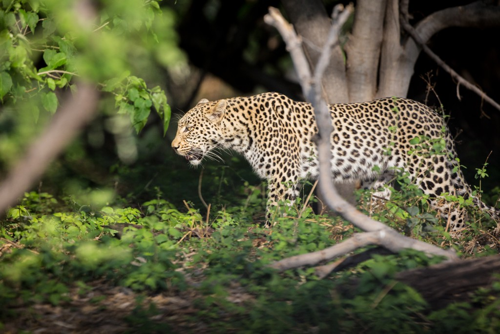 wild cats of africa leopard 3 image
