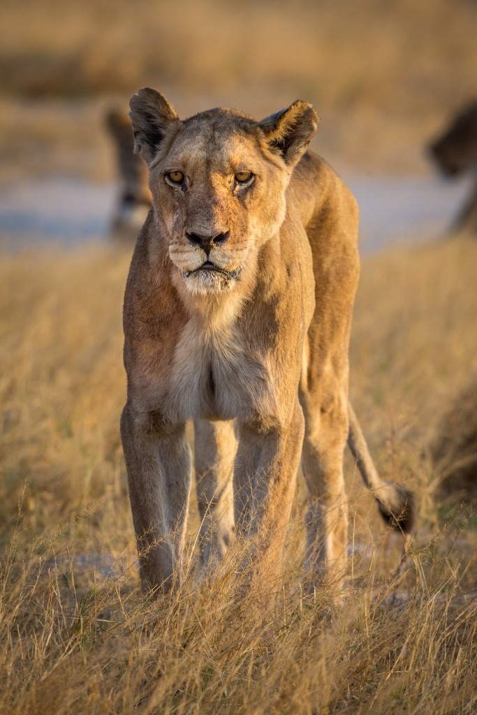 wild cats of africa lion 2 image