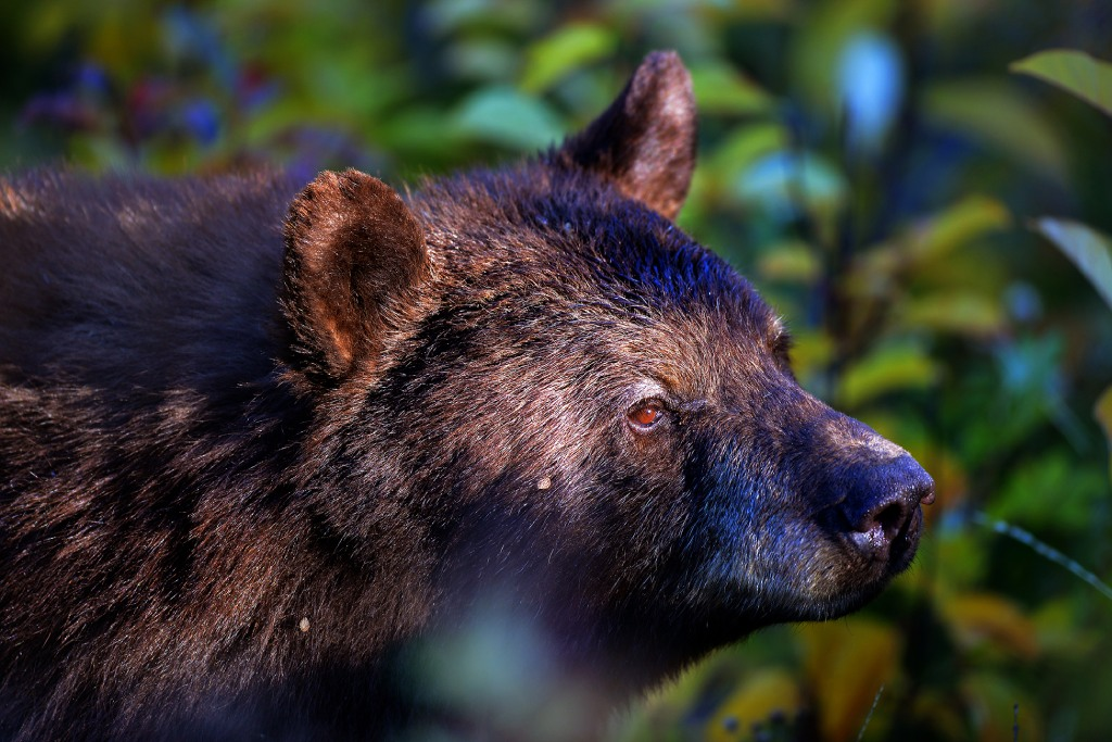glacier national park photography bears image
