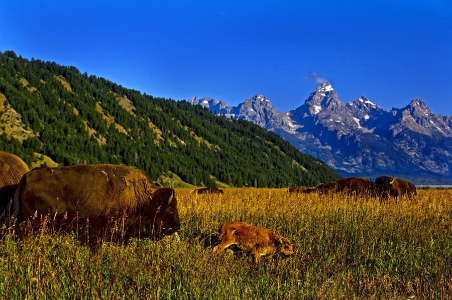 grand teton national park Wildlife photography 2 image
