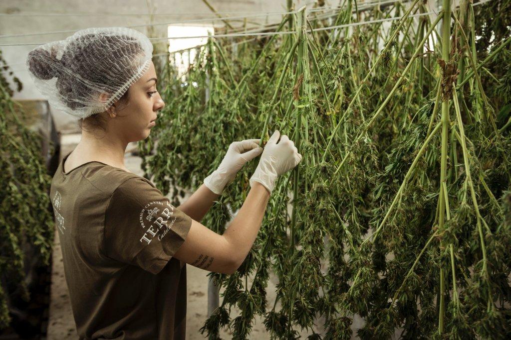 marijuana jobs image