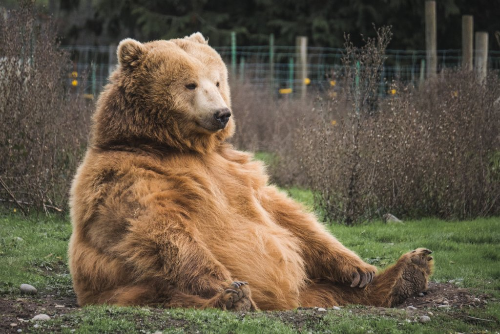 fat bear image