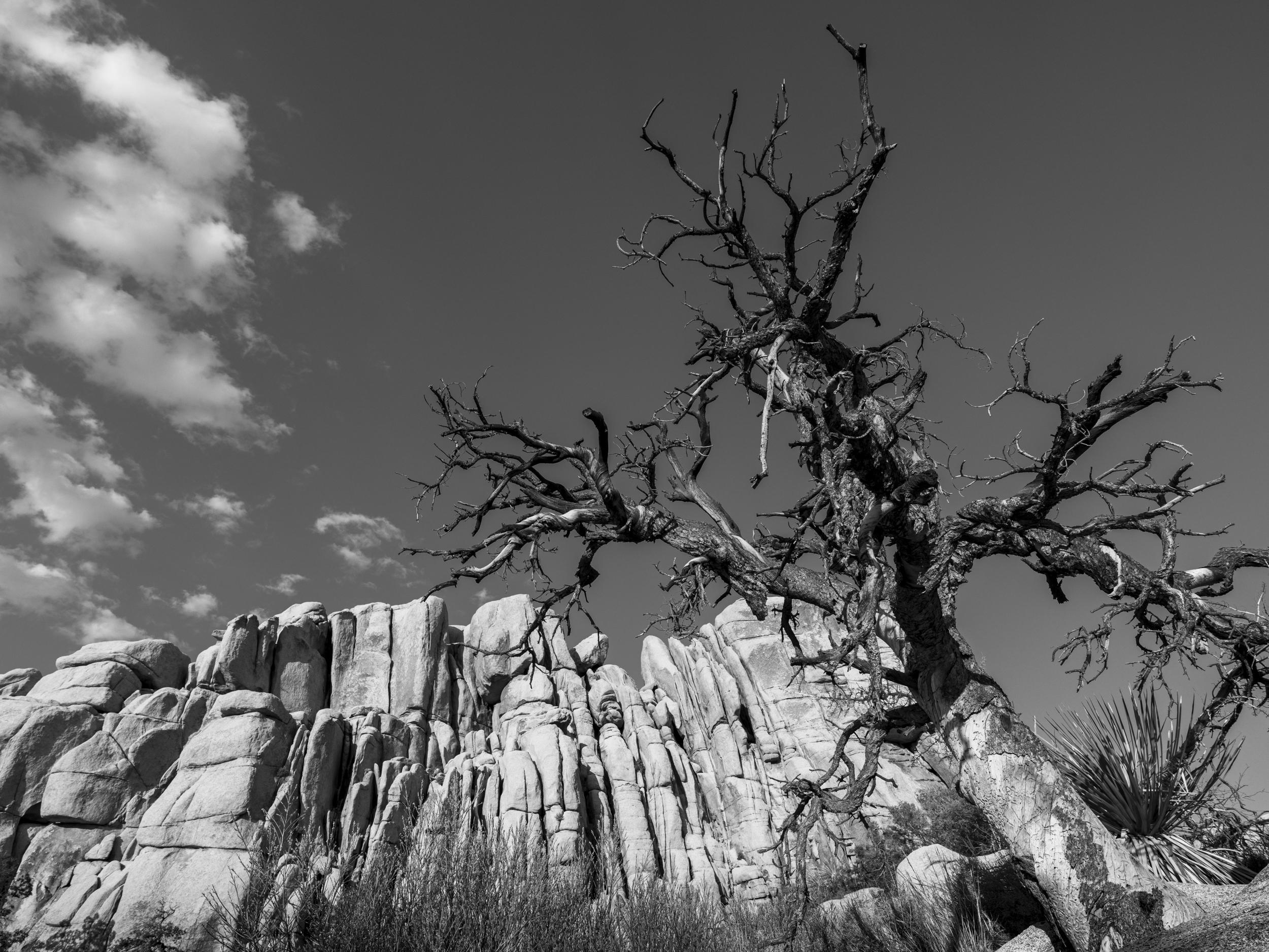 joshua tree 6 image