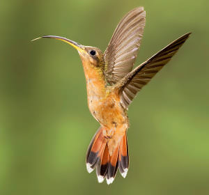 Photographing_Hummingbirds_with_Multiple_Flashes_html_m778f54a6 image