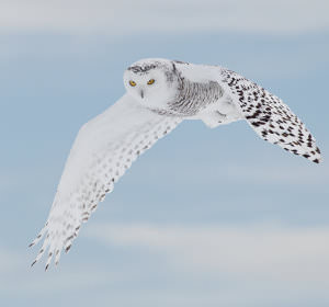 Snowy_Owls_-_Getting_the_Shot_html_3ad8afbf image