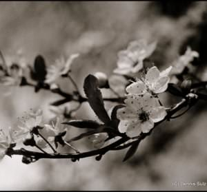 white_flowers image