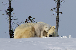 polar bears and cubs article_html_m1a164509web image