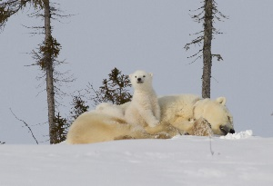 polar_bears_and_cubs_article_html_m17fc9531web image