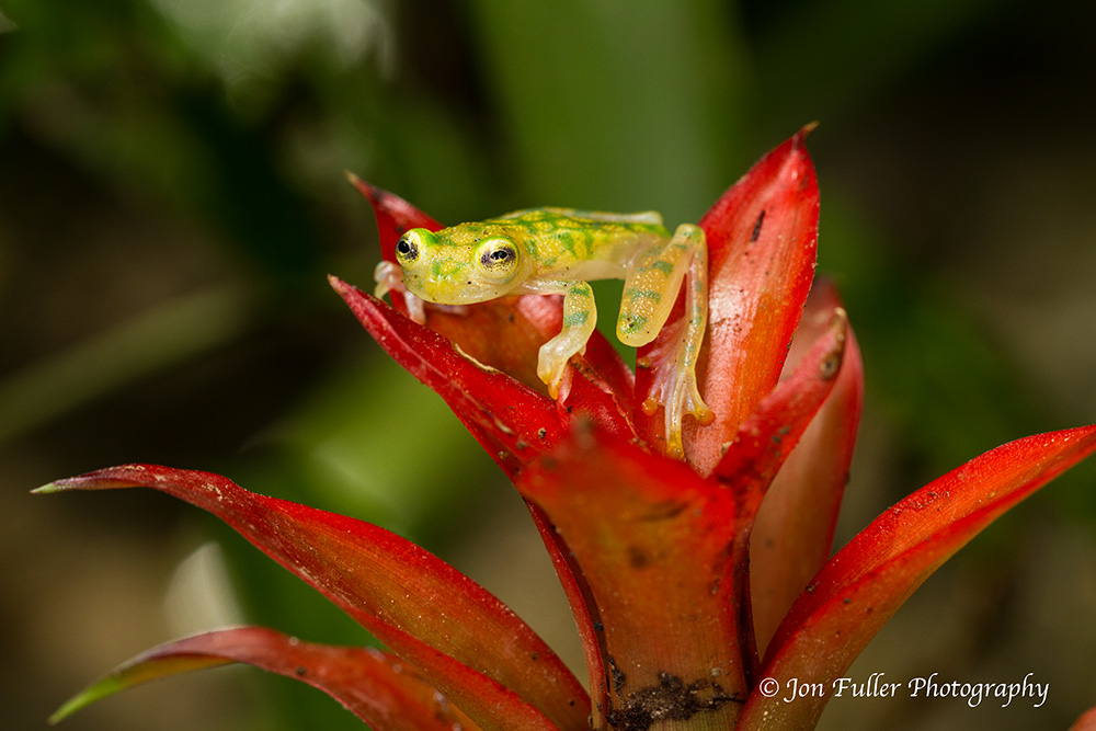 Reticulated Glass Frog image