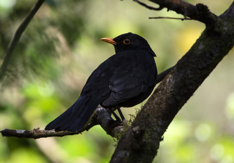 Blackbird in the shadows