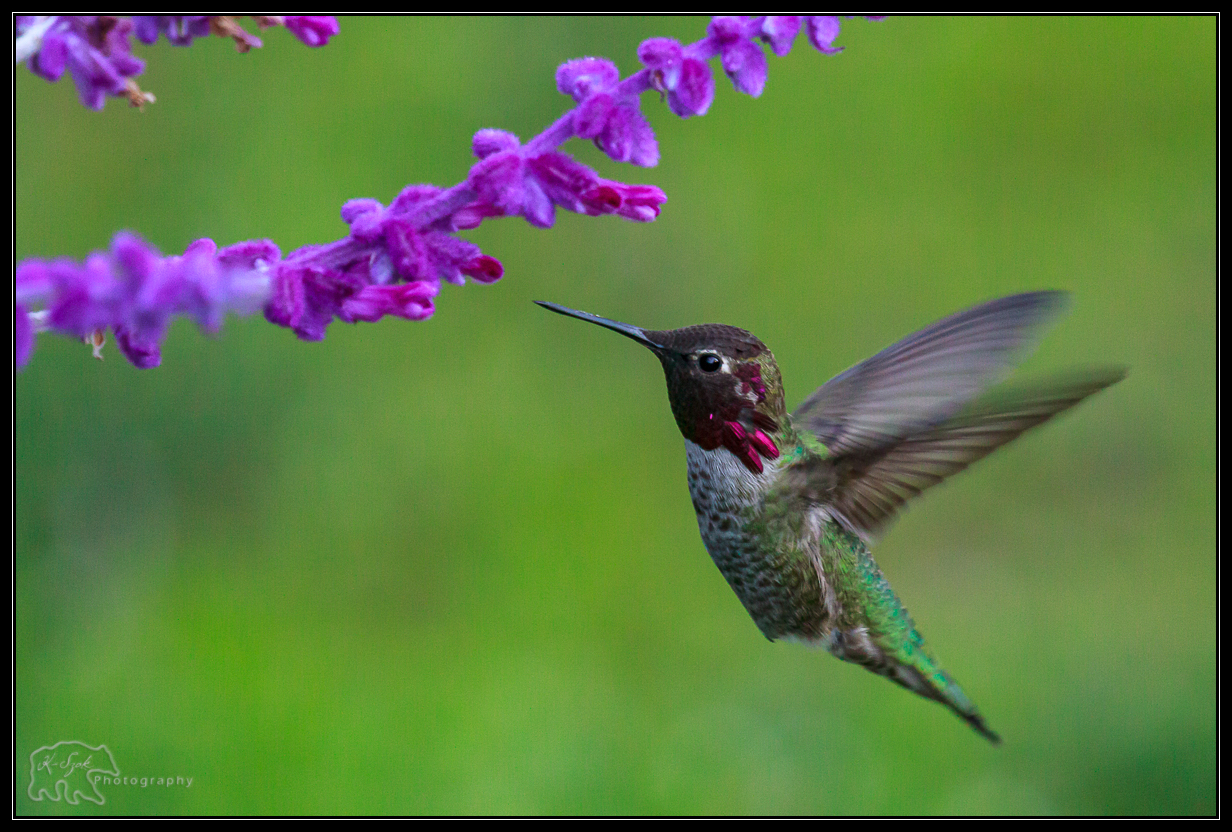 Humming bird and lavender