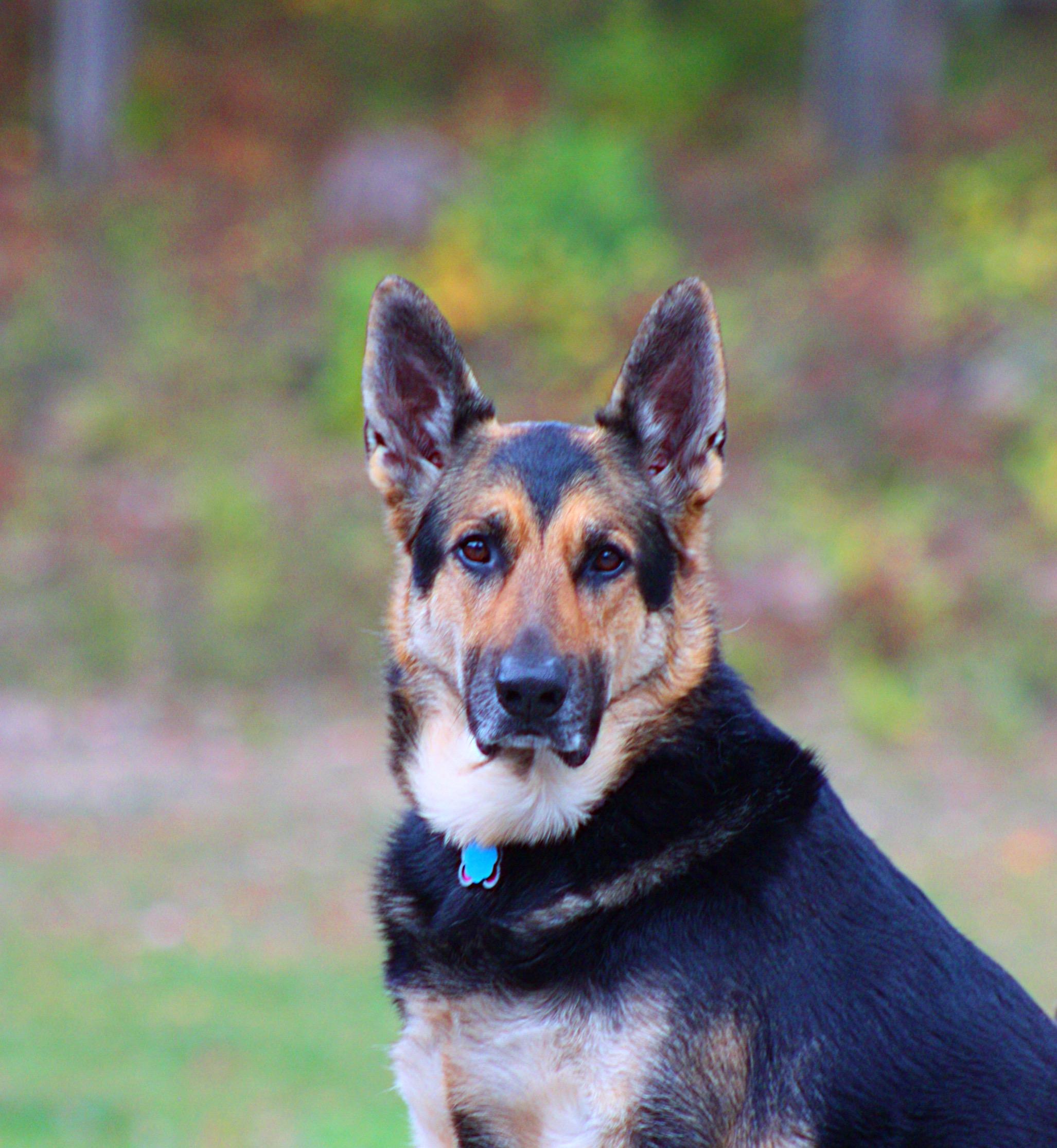 Maizee Blue, German Shepherd